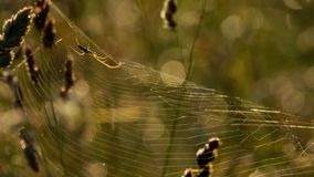 Spider weaves a web. Spider garden-spider on a web stock footage