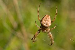 The spider genus Araneus Royalty Free Stock Photography