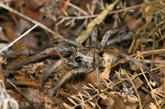 The spider of the genus Lycosa Stock Photo