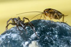 Spider and german cockroach stock photography
