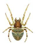 Spider Gibbaranea ullrichi female Royalty Free Stock Photo