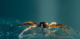 Spider on the glass macro. Macro closeup spider. Insect standing on the mirror. Mirror reflection. Bokeh, light reflections royalty free stock images