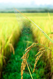 Spider gossamer. Closeup of beautiful gossamer  in rice field Royalty Free Stock Images