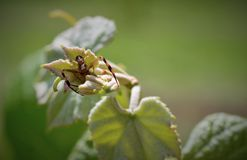 Spider on grape leaves Royalty Free Stock Images