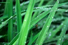 Spider in a grass. Dewy grass hosts a spider stock photography