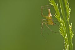 Spider and Grass. A spider crawls down a stalk of grass Stock Image