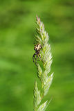 Spider on grass stalk Stock Images