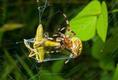 Spider with grasshopper 12 Stock Photos