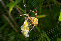 Spider with grasshopper 13 Stock Photography