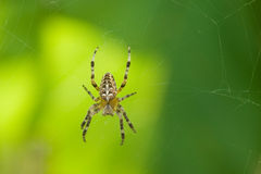 Spider on a green background. Stock Photo