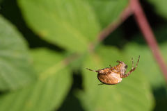Spider with green background Royalty Free Stock Photo