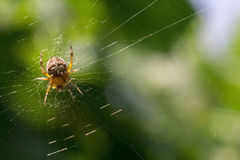 Spider on a green background Stock Photography