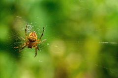 Spider on a green background Royalty Free Stock Photography