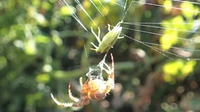 Spider and green bug Royalty Free Stock Photography
