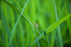 Spider In Green Field. A spider climbing in green rice plants royalty free stock photos