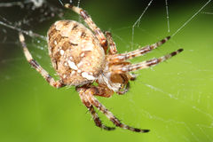 Spider on Green. A garden spider waiting patiently for something to land in his web Royalty Free Stock Photo
