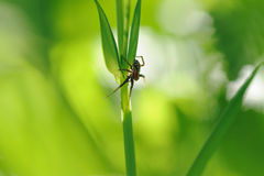 Spider on green grass. Royalty Free Stock Photography