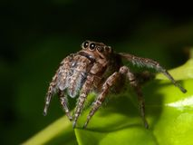 Spider on the green leaf. Royalty Free Stock Images