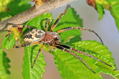 Spider on green leaf Royalty Free Stock Photos