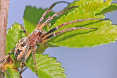 Spider on green leaf Stock Photo