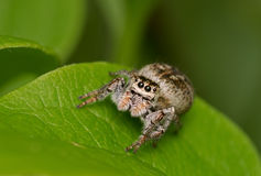 Spider on a green leaf Stock Images