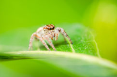 Spider in green leaf background Royalty Free Stock Photography