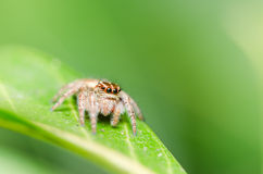 Spider in green leaf background Royalty Free Stock Photos