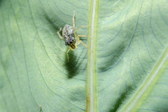 Spider on green leaf with close up detailed view. Royalty Free Stock Image