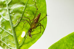 Spider  on a green leaf Royalty Free Stock Photos
