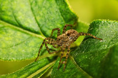 Spider on green leaf Royalty Free Stock Photography