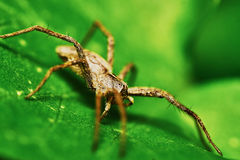 Spider on a green leaf Royalty Free Stock Image