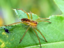 A spider on a green leaf with its prey Royalty Free Stock Images