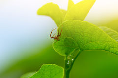 Spider on the Green Leaf Royalty Free Stock Photo