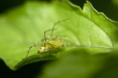 Spider on green leaf nature Royalty Free Stock Photos