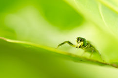 Spider on green leaf nature Royalty Free Stock Photography