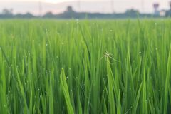 Spider on green leaf. Of rice plant and dew on leaf in evening Royalty Free Stock Photography