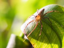 Spider on a green leaf under sunligh. Stock Photos