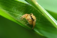 Spider in green leaf. Is use in background or wallpaper royalty free stock photography