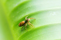 Spider on green line. The spider on green line is beautiful background images stock photography