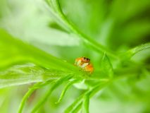 Araneid. A spider is on a green plant Royalty Free Stock Photo