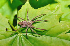 Spider on green sheet. Very close and very in detail Royalty Free Stock Photos