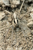 A spider on the ground in the wild, north china Stock Image
