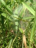 Spider guarding egg sac in long grass. A spider guarding its egg sac and spiderlings in the long, green grass Royalty Free Stock Images