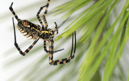 Spider hairy Royalty Free Stock Photos
