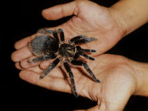 Spider in the Hands. Big beautiful female tarantula spider crawling in the hands stock photos