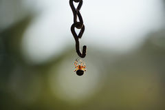 Spider Hanging. A fall spider hanging out on a chain Stock Image
