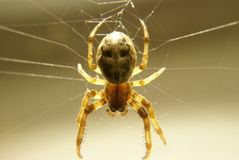 A spider hanging on his web Stock Photos