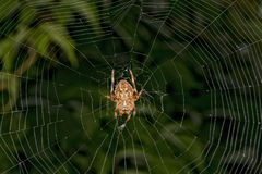 Spider hanging from its web Royalty Free Stock Photography