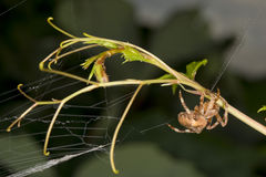 Spider hanging from its web Royalty Free Stock Image