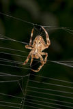 Spider hanging from its web Stock Images